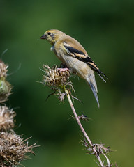 Juvenile Goldfinch (JohnsG8) Tags: nikon nikond500 nikon200500mmf56 nj newjersey nature wildlife d500 deepcutgardens birdwatching birdwatcher birding bird goldfinch golden finch