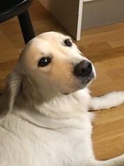 Visst är hon nobel? (Göran Nyholm) Tags: hundar fotosondad nobel fotosöndag fs171008
