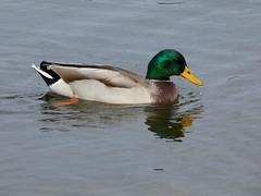 Mallard (Deanne Wildsmith) Tags: bartonmarina staffordshire mallard duck earthnaturelife