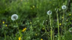 Esprimi un desiderio (Anna Pellone) Tags: dentedileone flowers fiori natura nature desiderio wish dandelion