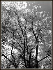 backyard Walnut tree (karma (Karen)) Tags: baltimore maryland home backyard walnuttree monochrome bw picmonkey hss cmwd topf25