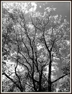 backyard Walnut tree