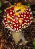 Fly Agaric (JKmedia) Tags: nature macro mushroom toadstool fungi fungus growth green produce moss boultonphotography closeup decay autumn brown endofseason mycology pattern texture detail grass slimy caps ef100mmf28lmacroisusm canon woods autumnal 2017 canoneos5dmkiii flyagaric