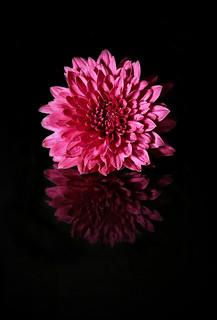 2017 Sydney: Reflected Chrysantheum