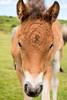 Dartmoor pony foal (Keith in Exeter) Tags: dartmoor pony foal animal portrait landscape nationalpark young curiosity outdoor devon