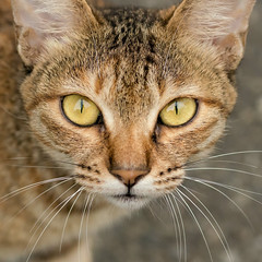 A stray cat around my apartment (jc.han) Tags: pentax pentaxk5iis f100f28 100mm pentaxf100f28macro cat hsinchu