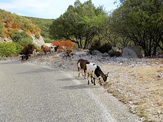 Chèvres semi sauvage !