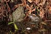 Crapauds (Katia Debray) Tags: crapauds nature amphibiens reflets couleurs extérieur eau canon5dsr paris france flickrunitedwinner