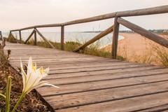 Sea daffodil, I found it dreaming of the ocean. (marysaesteban) Tags: 2017 barbate spain zahora julio july summer 7dwf flora fencedfriday atlanticocean cadiz españa atlántico cádiz