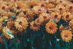 Chrysanthemum (u c c r o w) Tags: chrysanthemum kasimpati flower flowers çiçek blumen burhaniye ören izmir aegean floral plant nature beautiful uccrow mediterranean macro botanic