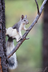 When you're an acrobat and trees are your gymnasium! (Squirrel Girl cbk) Tags: 2017 abertsquirrel arizona sciurusaberti sunsetcratervolcanonationalmonument acrobat squirrel tail