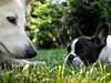 Brenda und Gaudi im Garten (Brenda-Gaudi) Tags: brenda garten gaudi hunde franzoesischebulldoggen weisseschaeferhunde germany nrw