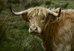 Highland Cow (Ian Mc Farlane) Tags: orkney scotland highland cow