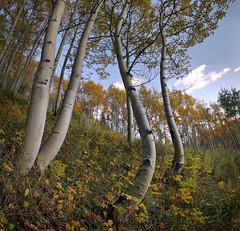 Autumn Aspens (PT Photo) Tags: colorado aspens clouds vertorama lightroom5 sigma1020mm hdr dphdr ptphoto nik analogefexpro2 hill