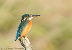 Miss Kingfisher. ( Explored ) :) (ian._harris) Tags: d7200 nikon naturaleza sigma 500mm kingfisher light
