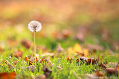 Dandelion (Alexandre D_) Tags: canon eos 70d tamron 70200mm 70200 70200f28 tamronspaf70200mmf28dildifmacro dandelion pissenlit fall autumn automne light nature natural naturallight earth closeup grass colors color colorful couleur colour bokeh bokehlicious bokehoftheday beyondbokeh plant green leaves leaf feuilles billymontigny hautsdefrance france nord pasdecalais wideopen dof depthoffield backlight backlighting shallowdof zoom