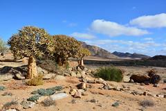 Reserva natural de Goegap (Vicenç Bernad) Tags: northerncape sudàfrica africa goegap aloe kokerboom quiver namaqua