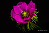 Pink flower (Magda Banach) Tags: canon blackbackground colors flora flower macro nature pink plants save earth anemone 80d