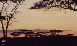 Serengeti sunset behind Acacias. Ndutu