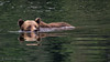Swimming Grizzly - Khutzeymateen Grizzly Bear Sanctuary, British Columbia, Canada (Dennis Westover) Tags: sunrays5 sundays 5