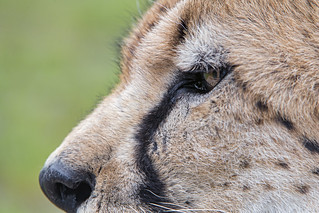 Cheetah very close