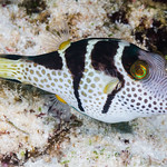 Black-saddled Toby, the model - Canthigaster valentini thumbnail