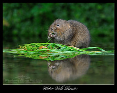 Water Vole Picnic (deanmasonwp) Tags: wild wildlife nature photo photography animal mammal water vole ratty wind willows stream brook picnic dean mason windows dorset nikon d3s