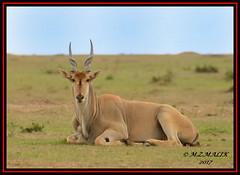 ELAND (Tragelaphus oryx).....MASAI MARA....SEPT 2017 (M Z Malik) Tags: nikon d800e 400mmf28gedvr kenya africa safari wildlife masaimara keekoroklodge exoticafricanwildlife ngc npc