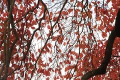 Lines of Red (Henry Hemming) Tags: wakehurst place kew sussex arboretum autumn colours glow red var leaves bokeh black background macro flower fall lines leaf orange