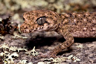 Granite Belt Thick-tailed Gecko (Uvidicolus sphyrurus)