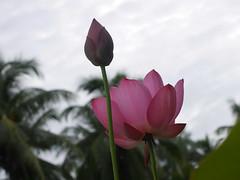 Sacred Lotus 'Chinese Red Xibeipo' Wahgarden Klong15 002 (Klong15 Waterlily) Tags: chinared lotus lotusflower flower sacredlotus thailotus nelumbo nelumbonucifera pond
