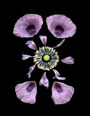 58573.01 Papaver somniferum (horticultural art) Tags: horticulturalart papaversomniferum papaver poppy opiumpoppy parts design petals