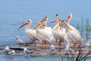 Summer Pelicans