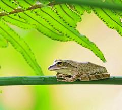 Frog at rest (Robyn Hooz) Tags: frog rana verde green mall kohsamui leaf foglia occhio eye anfibio rain thai