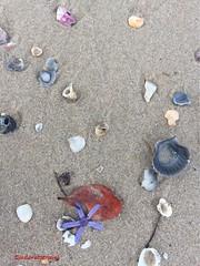 Sea jewels, Palm Beach, QLD  photo©jadoretotravel (J'Adoretotravel) Tags: beachlife loveisabeach jadoretotravel goldcoastbeaches  australianbeaches goldcoast palmbeach flowers petals 🐚 shells seajewels