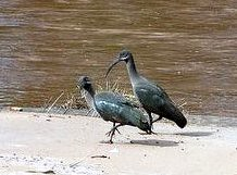AFRICA (vermillion$baby) Tags: inthewild marariver masaimara africa bird international kenya river wetland wild wilderness