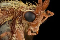 Hairy Fly (brianjobson) Tags: diptera fly hairy eye dofstacking focussatcking macro micro extremestacking nikond810