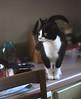 dainty Tina (rootcrop54) Tags: tina tuxedo small dainty female cat black white kitchen counter neko macska kedi 猫 kočka kissa γάτα köttur kucing gatto 고양이 kaķis katė katt katze katzen kot кошка mačka gatos maček kitteh chat ネコ