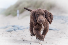 Mischief in those eyes!!! (Nathan J Hammonds) Tags: beach action dog mischief nikon d750 running low pov puppy
