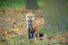 Forest Fox (marylee.agnew) Tags: red fox forest leaves heart canine wilderness wild nature outdoor autumn