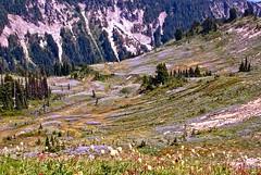 carpet of wildflowers (tastyworld) Tags: wildflowers mtrainier mountrainier evergreens spring