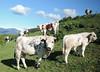 AUTUMN PASTURE (LitterART) Tags: herde herd kühe cow cows kuh vache vaches steiermark styria austria österreich weide pasture