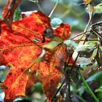 Herbstlaub in bunt thumbnail