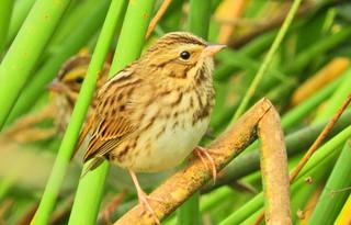 Savannah Sparrows