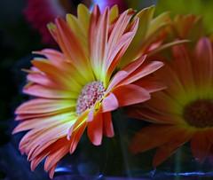 Daisy Daisy Do (Cheryl Gurner) Tags: flowers daisies daisy gardens outdoors pink red dof