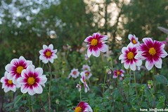 IMGP1624 (hans03) Tags: iga internationale garten ausstellung gärten welt berlinmarzahn berlin marzahn blumen blüte