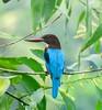 White throated Kingfisher (sreejithkallethu) Tags: whitethroatedkingfisher kingfisher birds birdsofkerala polachira kollam birdsofpolachira kerala