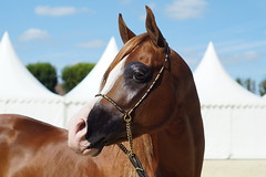 5/6 Show Pur-Sang Arabe (Sdine) Tags: arabianhorse horse horseshow pompadour