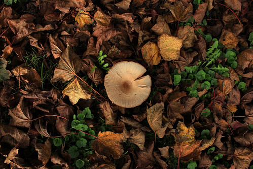 "Pilz  im Herbstlaub (01) • <a style=""font-size:0.8em;"" href=""http://www.flickr.com/photos/69570948@N04/37726833972/"" target=""_blank"">View on Flickr</a>"