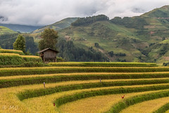 Rice terrace in MuCangChai (mathieuo1) Tags: vietnam rice terrace landscape field scape view asia sapa mucangchai travel discover raw color nature mountains work pro lines shape architecture symmetry symbol people wood light illumination composition contrast nikon dlsr panorama wide mathieuo